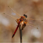 The Red Darter, common in the Irish wetlands in July & August