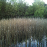 The small wetland looks during the winter when the reeds are dormant.