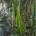 Taken during the first week of May 2013, and shows the first green shoots of new leaves on the reeds at the Raven in Wexford.
