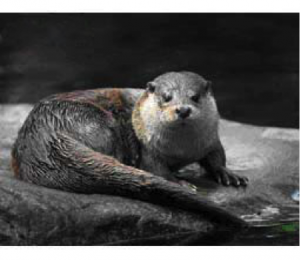 The picture above is the Eurasian otter (Lutra lutra), the species found in Ireland. The picture is courtesy of www.conserveireland.ie